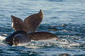 Whale watching - Humpback whales and California sea lions in Monterey Bay, 2013