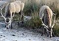 Hungry Deer - geograph.org.uk - 647617.jpg