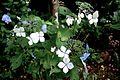 Hydrangea macrophylla - Flickr - odako1.jpg
