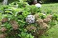 Hydrangea macrophylla 24zz.jpg