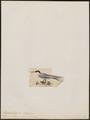 Hydrochelidon albigena - 1820-1860 - Print - Iconographia Zoologica - Special Collections University of Amsterdam - UBA01 IZ17900386.tif