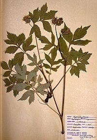 Hydrophyllum virginianum var. virginianum BW-1966-0526-0856.jpg