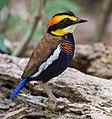 Hydrornis irena male by Jason Thompson, crop.jpg