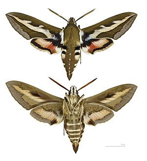 Hyles gallii MHNT male.jpg