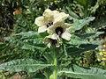 Hyoscyamus niger sl32.jpg