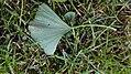 IMG 20171005 183320 Wilhelminapark Tilburg fallen leaf Ginkgo Biloba.jpg