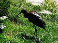 Ibis falcinelle Argelès-Gazost parc animalier (4).JPG
