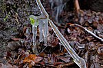 Ice trapped plant along the GR 16 in Vresse-sur-Semois (DSCF5039).jpg