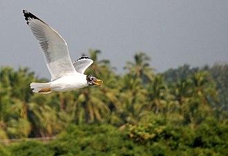 Kadalundi Bird Sanctuary - Ichthyaetus ichthyaetus