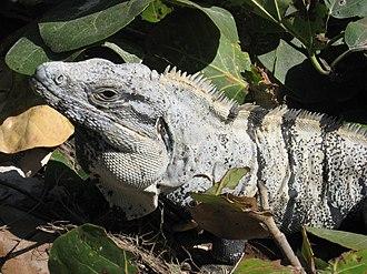 Ctenosaura similis - Ctenosaura similis, Tulum, Mexico