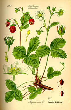 Fragaria vesca - Wikipedia, la enciclopedia libre