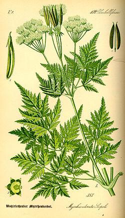 Illustration Myrrhis odorata0.jpg