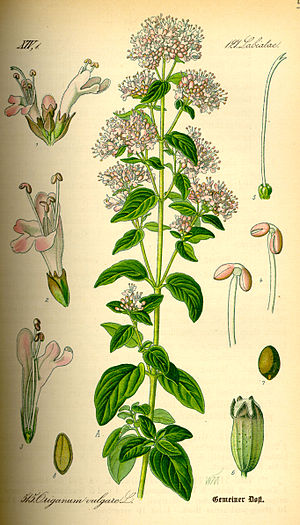Origanum vulgare on the soul and digestion