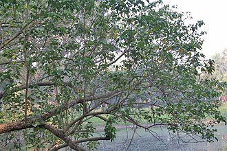 Thespesia populnea -  An Indian Tulip tree in Kolkata, West Bengal, India.