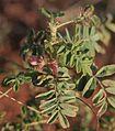 Indigofera colutea flower.jpg
