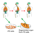 Ips cells.png