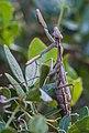 Iris oratoria, Bois des Aresquiers.jpg