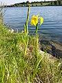 Iris pseudacorus sl10.jpg