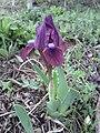 Iris pumila sl11.jpg