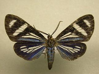 <i>Isostola</i> Genus of moths
