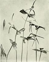 Isotria verticillata WFNY-f009.jpg