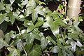 Ivy uf1.jpg