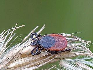 <i>Ixodes ricinus</i> Species of tick