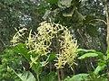 Ixora malabarica flowers at Peravoor - 2017 (4).jpg