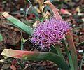 J20160505-0145—Allium platycaule—RPBG (26926289716).jpg