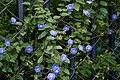 Jacquemontia violacea syn J pentantha in Hyderabad, AP W IMG 0037.jpg