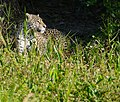 Jaguar (Panthera onca) female on the riverbank ... (48676090057).jpg