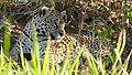 Jaguar (Panthera onca) female resting in the shade ... (48390724307).jpg
