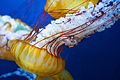 Japanese Sea-Nettle (5688888862).jpg