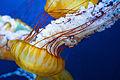Japanese Sea-Nettle (5688888862).jpg