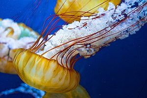 Chrysaora melanaster - Image: Japanese Sea Nettle (5688888862)
