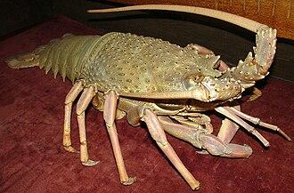 Sagmariasus - Model of Sagmariasus verreauxi