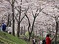 Jeju King Cherry Blossom Spring Festival (4402805241).jpg