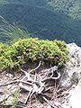 JuniperusSibirica PuyGriou 02.JPG