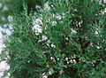Juniperus excelsa foliage Bulgaria 2.jpg