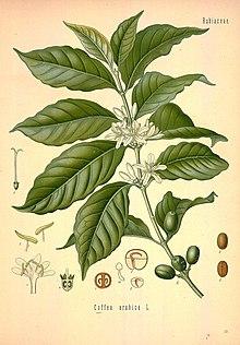 Семена Ко́фе арави́йский (Cofféa arábica)