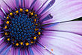 Kapmargerite Blüte (Makro).jpg