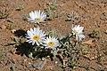Karoo Daisy (Arctotis leiocarpa) (32779781865).jpg