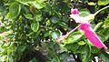 Kembang Sepatu (Hibiscus rosa-sinensis L.).jpg