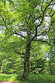 Kirkeler Wald Peterseiche 02.JPG