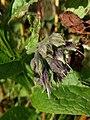 Klinkenberger - Gewone smeerwortel (Symphytum officinale).jpg