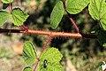 Kluse - Rubus phoenicolasius - Japanische Weinbeere 15 ies.jpg