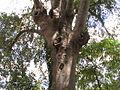Košćela 4 (Celtis australis).JPG