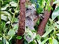 Koala in Qld.jpg