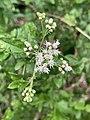 Koanophyllon villosum 01.jpg