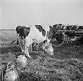 Koeien worden in de wei gemolken met de melkmachine, Bestanddeelnr 191-0656.jpg